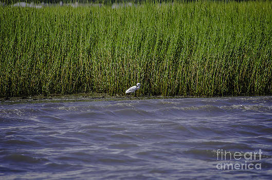 Dale Powell - White Heron along the Marsh