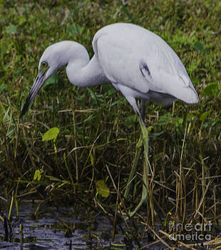 Dale Powell - White Heron Feeding