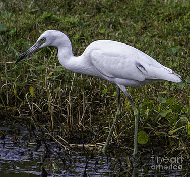 Dale Powell - White Heron in Marsh