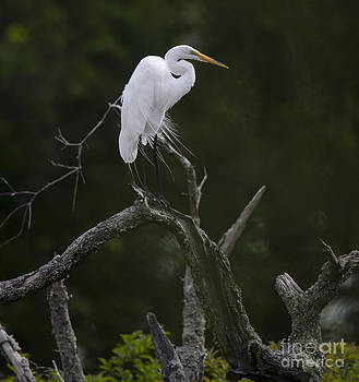 Dale Powell - White Heron Perched Atop Dead Tree