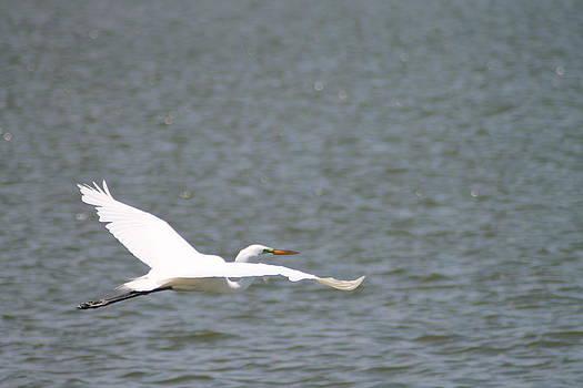 White Heron Take OFF by Marcia Crispino