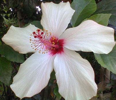 Shan Ungar - White Hibiscus Bloom