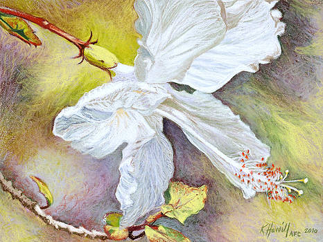White Hibiscus by Kitty Harvill