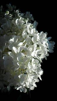 White Hydrangea by Rosie Brown