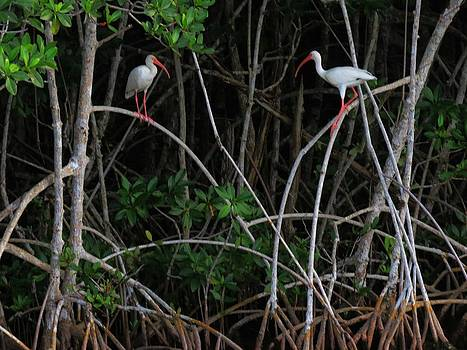 White Ibis Everglades Nat. Pk. Florida by Bill Marder