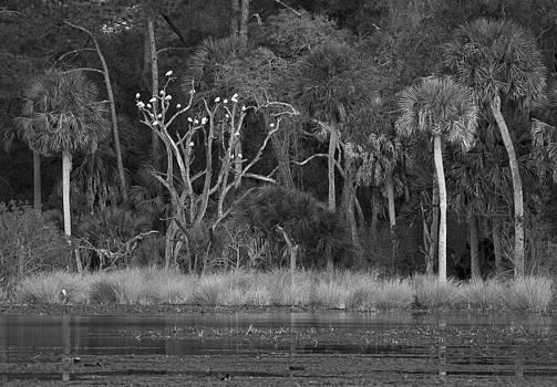 Bill Chambers - White Ibis in Tree