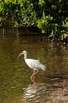 White Ibis on the Water by Natural Focal Point Photography