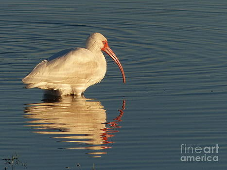 Christine Stack - White Ibis Reflection