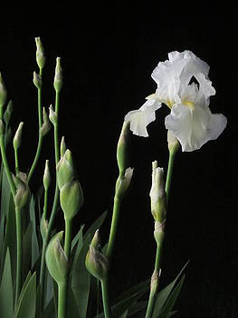 White Iris in Black of Night by Guy Ricketts