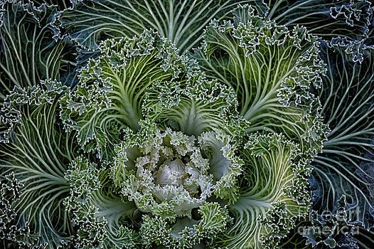 White Kale by Dee Johnson