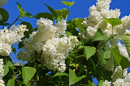 White Lilac Tree in blossom by David Davies