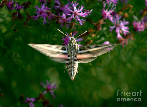 White-Lined Sphinx by E B Schmidt