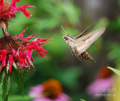 Joy Bradley - White-lined Sphinx Humming Bird Moth
