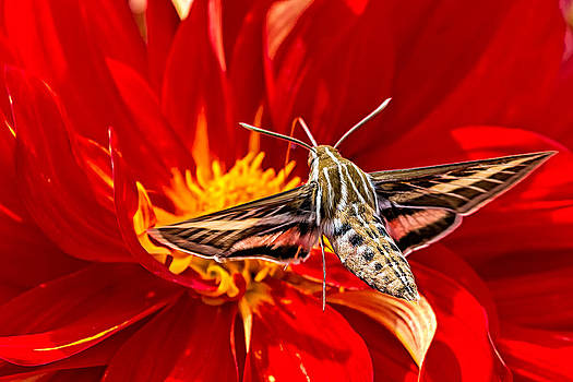 White-lined Sphinx Hummingbird Moth by Fred J Lord
