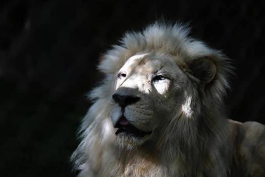 White Lion Head by Kim French