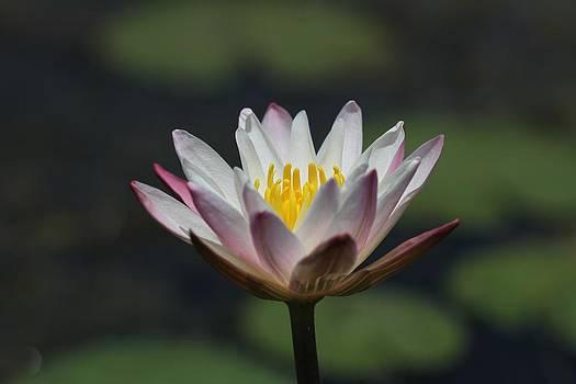 Ramabhadran Thirupattur - White Lotus