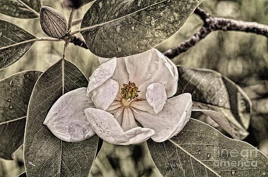 Lois Bryan - White Magnolia