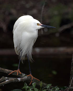 Snowy Egret by Martha Lyle
