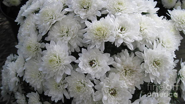 White Mums by Donna Cavender