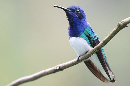 White-necked Jacobin by Joe Sweeney