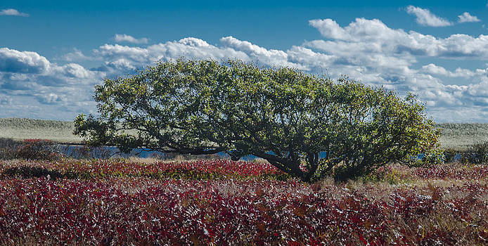 White Oak in Chilmark by Steve Myrick