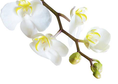 White Orchid by Mariola Szeliga