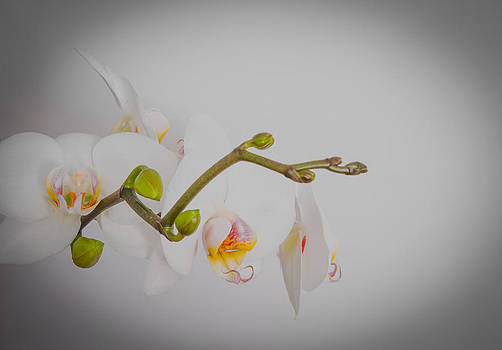 White orchid with yellow center by Iryna Soltyska