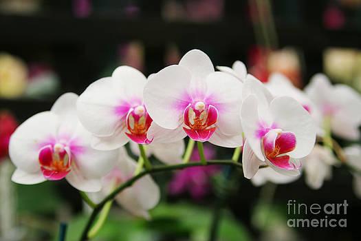 White Orchids by Fir Mamat