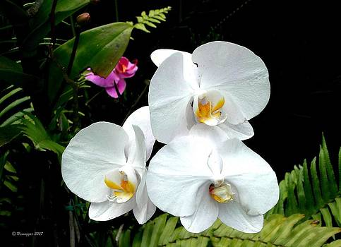 White Orchids by Hemu Aggarwal