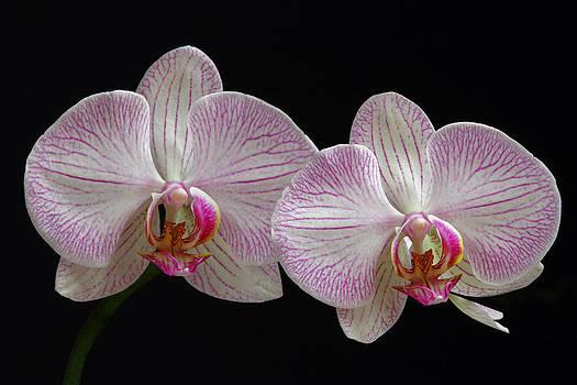 Juergen Roth - White Orchids