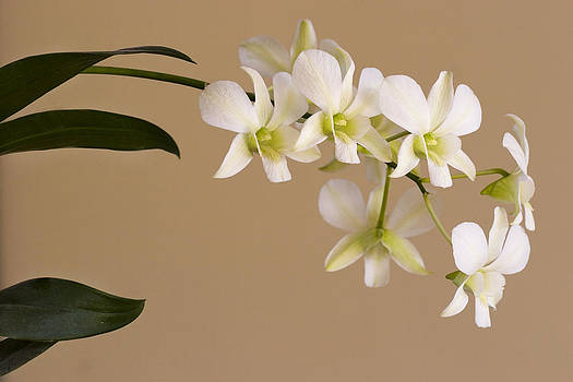 White Orchids On Brown Background by Sarit Saliman