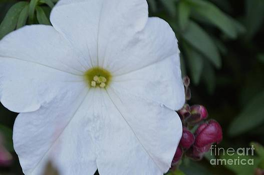 White Pansy by Theresa Davis