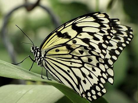Tam Ryan - White Paper Kite Butterfly