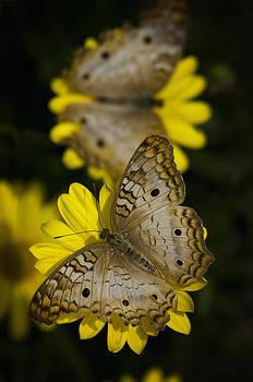Saija  Lehtonen - White Peacock Butterflies