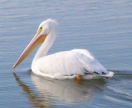 White Pelican by Diana Garcia