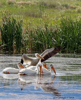 Gina Gahagan - White Pelicans at Cherry River