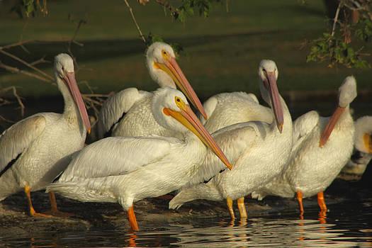 Diana Haronis - White Pelicans