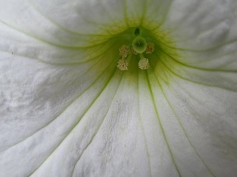 White Petunia Center 1 by Barbara Yearty