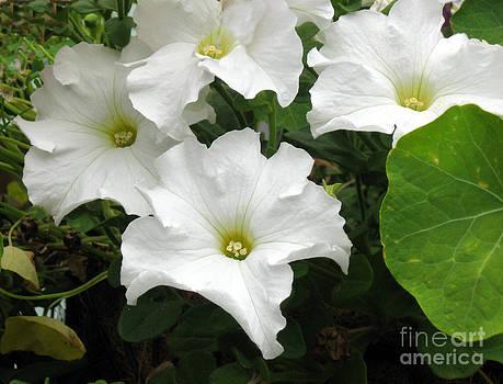 Ellen Miffitt - White Petunias