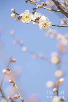 White plum blossom by Aduldej Sukaram