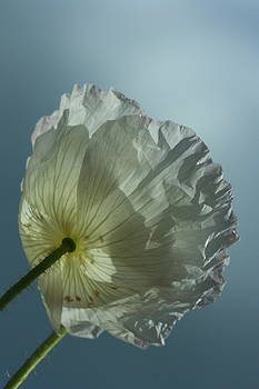 White Poppy by Rebeka Dove