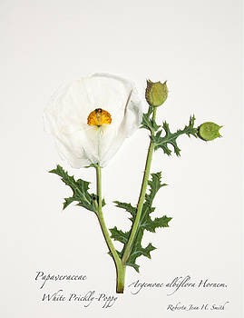 White Prickly Poppy by Roberta Jean Smith