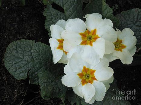Ellen Miffitt - White Primroses