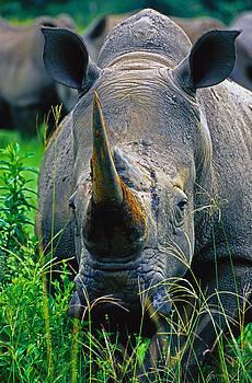 Dennis Cox - White Rhino