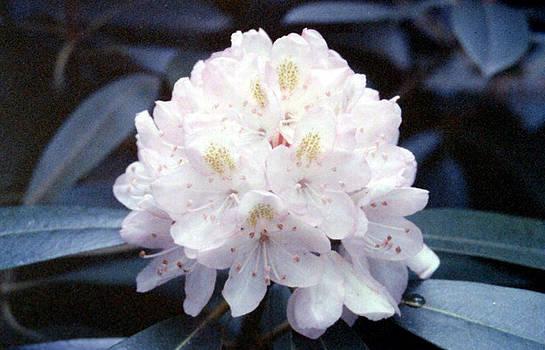 Stephen Proper Gredler - White Rhododendron