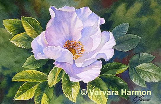 White Rosa Ragusa by Varvara Harmon