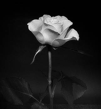 White Rose #02 by Richard Wiggins