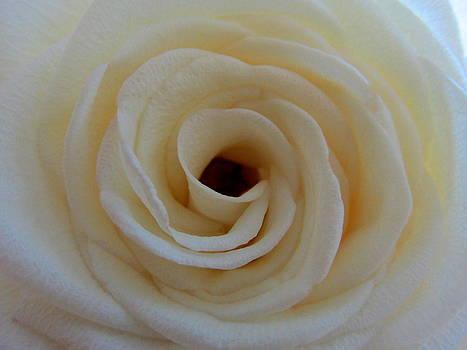White Rose by Dana Doyle