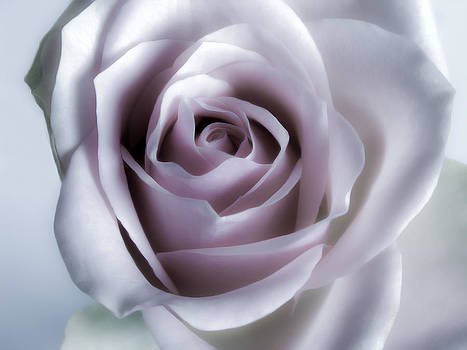 White Roses Flowers Art Work Photography by Artecco Fine Art Photography