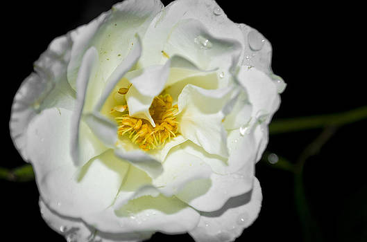 White Rose by Heather Grow